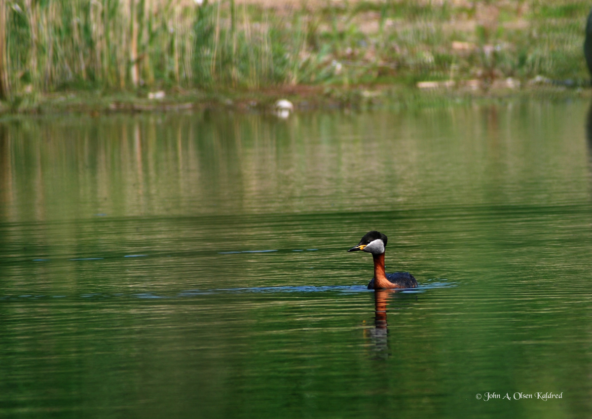 maj- juni 2013 DSC_5978_04-1 ved en sø lappedykker_01